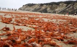 EE.UU.: miles de cangrejos tiñeron de rojo las playas al sur de California