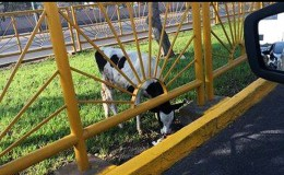 Lima: encuentran una vaca abandonada en la avenida Canadá