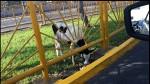 Lima: encuentran una vaca abandonada en la avenida Canadá - Noticias de alerta noticias
