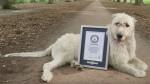 YouTube: conoce a Keon, el perro con la cola más larga del mundo - Noticias de youtube.viral