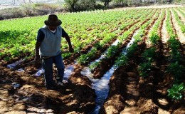 COEN: lluvias afectaron más de 5 mil hectáreas de cultivos en el Perú
