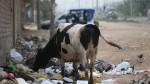 Carabayllo: vacas se alimentan con basura de la vía pública - Noticias de nikol sinchi