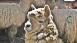 Perú es el mayor productor de fibra de alpaca en el mundo - Noticias de alpaca