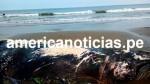 Tumbes: hallan muerta en una playa a ballena jorobada de más de 8 metros - Noticias de ballenas